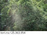 Купить «Swarm of Phantom midges / Lake flies (Chaoborus edulis) over Lake Victoria, Entebbe, Uganda, July 2006», фото № 25363954, снято 15 декабря 2017 г. (c) Nature Picture Library / Фотобанк Лори