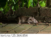 Купить «Brown rat {Rattus norvegicus} foraging on garden patio at night, Sussex, UK», фото № 25364854, снято 23 мая 2018 г. (c) Nature Picture Library / Фотобанк Лори