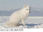 Arctic fox (Vulpes / Alopex lagopus) sitting, 1002 area of the Arctic National Wildlife Refuge, Alaska, October 2008. Стоковое фото, фотограф Steven Kazlowski / Nature Picture Library / Фотобанк Лори