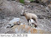 Купить «Bighorn sheep (Ovis canadensis) yearling suckling, Jasper National Park, Rocky Mountains, Alberta, Canada», фото № 25365318, снято 26 мая 2019 г. (c) Nature Picture Library / Фотобанк Лори