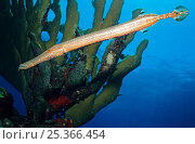 Купить «Caribbean trumpetfish (Aulostomus maculatus) Cancun National Park, Caribbean Sea, Mexico, July», фото № 25366454, снято 27 марта 2019 г. (c) Nature Picture Library / Фотобанк Лори