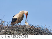 Купить «White stork (Ciconia ciconia) adult feeding chick at nest, Rusne, Nemunas Regional Park, Lithuania, June 2009», фото № 25367098, снято 16 февраля 2019 г. (c) Nature Picture Library / Фотобанк Лори