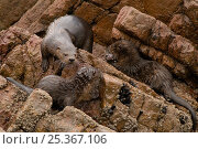 Marine otter (Lontra felina) female and cubs on coastal rocks, Paracas National Reserve, Peru, Endangered species. Стоковое фото, фотограф Mark Bowler / Nature Picture Library / Фотобанк Лори