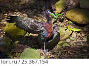 Купить «Glossy Ibis (Plegadis falcinellus) standing in patch of sunlight, drying out after bathing, Lamington National Park, SE Queensland, Australia, March», фото № 25367154, снято 16 октября 2019 г. (c) Nature Picture Library / Фотобанк Лори