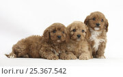 Купить «Three Cavapoo (Cavalier King Charles Spaniel x Poodle) puppies, 6 weeks», фото № 25367542, снято 5 декабря 2019 г. (c) Nature Picture Library / Фотобанк Лори