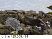 Купить «Southern giant petrel (Macronectes giganteus) feeding on Southern elephant seal (Mirounga leonina) weaner that had come to the island to moult and was...», фото № 25368494, снято 20 марта 2019 г. (c) Nature Picture Library / Фотобанк Лори