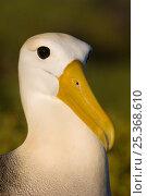 Купить «Waved albatross (Phoebastria irrorata) portrait, Punta Cevallos, Española Island, Galapagos Islands», фото № 25368610, снято 20 марта 2019 г. (c) Nature Picture Library / Фотобанк Лори