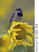 Купить «Male Common / House sparrow (Passer domesticus) perched on sunflower. Isles of Scilly, UK. August», фото № 25368754, снято 15 декабря 2017 г. (c) Nature Picture Library / Фотобанк Лори