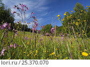 Купить «Flowering meadow with Buttercups (Ranunculus acris) and Ragged robin (Lychnis floscuculi) Poloniny National Park, Western Carpathians, Slovakia, Europe, May 2009», фото № 25370070, снято 12 декабря 2017 г. (c) Nature Picture Library / Фотобанк Лори