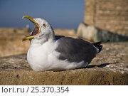 Купить «Seagull on wall of Essaouira old fort, Morocco, November 2008.», фото № 25370354, снято 26 мая 2018 г. (c) Nature Picture Library / Фотобанк Лори
