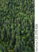 Купить «Scots Pine (Pinus sylvestris), Silver Fir (Abies alba) and Silver Birch (Betula pendula) subalpine forest in Madriu valley, Madriu-Claror-Perafita valley...», фото № 25370826, снято 14 августа 2018 г. (c) Nature Picture Library / Фотобанк Лори