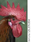 Купить «Domestic chicken cock {Gallus gallus domesticus}  head portrait with comb and wattle, Western Caucasus, Russia», фото № 25370854, снято 17 августа 2018 г. (c) Nature Picture Library / Фотобанк Лори