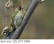 Green Woodpecker (Picus viridis sharpei) male in tree, Spain, December. Стоковое фото, фотограф Markus Varesvuo / Nature Picture Library / Фотобанк Лори