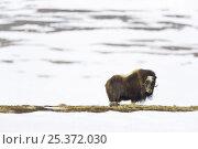 Купить «Muskox (Ovibos moschatus) in snow, Dovrefjell National Park, Norway, April 2009», фото № 25372030, снято 26 февраля 2020 г. (c) Nature Picture Library / Фотобанк Лори