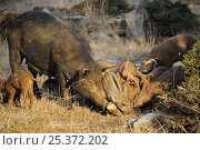 Купить «Feral pig (Sus scrofa domestica) family gnawing on goat skull, NE Greece.», фото № 25372202, снято 21 августа 2018 г. (c) Nature Picture Library / Фотобанк Лори