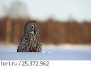 Female Great grey owl (Strix nebulosa) in snow, Oulu, Finland, February 2009. Стоковое фото, фотограф Wild Wonders of Europe / Zacek / Nature Picture Library / Фотобанк Лори