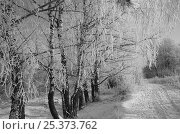 Купить «Winter landscape with Birch trees covered in frost, Russia, January 2009», фото № 25373762, снято 15 августа 2018 г. (c) Nature Picture Library / Фотобанк Лори
