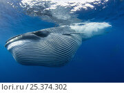 Купить «Bryde's whale {Balaenoptera brydei / edeni} with throat pleats expanded after feeding on baitball of Sardines {Sardinops sagax} off Baja California, Mexico...», фото № 25374302, снято 20 марта 2019 г. (c) Nature Picture Library / Фотобанк Лори