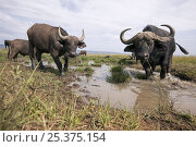 Cape buffalo (Syncerus caffer) at a water hole, Maasai Mara National Reserve, Kenya, February. Стоковое фото, фотограф Anup Shah / Nature Picture Library / Фотобанк Лори