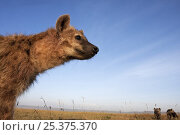 Купить «Spotted hyena (Crocuta crocuta) adolescent, Masai Mara National Reserve, Kenya, December», фото № 25375370, снято 11 июля 2020 г. (c) Nature Picture Library / Фотобанк Лори