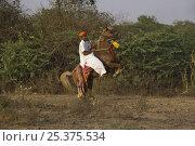 Купить «A traditionally dressed Indian man riding a rearing chestnut Kathiawari mare, Gujarat, India, 2008», фото № 25375534, снято 6 июля 2020 г. (c) Nature Picture Library / Фотобанк Лори