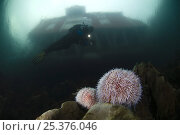 Купить «Two Edible / Common sea urchins (Echinus esculentus) with Klas Malmberg diving, red house on the coast visible above surface, Saltstraumen, Bodö, Norway, October 2008», фото № 25376046, снято 20 ноября 2019 г. (c) Nature Picture Library / Фотобанк Лори