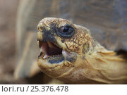 Radiated tortoise (Geochelone radiata) with mouth open, Berenty Reserve, Madagascar. Стоковое фото, фотограф Edwin Giesbers / Nature Picture Library / Фотобанк Лори
