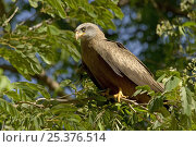Купить «Yellow-billed Kite (Milvus parasitus) perched on branch, Madagascar», фото № 25376514, снято 18 июня 2019 г. (c) Nature Picture Library / Фотобанк Лори