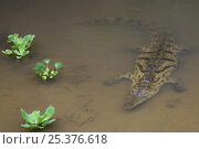 Купить «Nile crocodile (Crocodylus niloticus) submerged, Madagascar, captive», фото № 25376618, снято 15 октября 2019 г. (c) Nature Picture Library / Фотобанк Лори