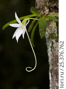 Купить «Comet Orchid (Angraecum sesquipedale) epiphytic on rainforest tree, Madagascar.», фото № 25376762, снято 26 апреля 2018 г. (c) Nature Picture Library / Фотобанк Лори