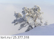 Купить «Snow covered Scots pine tree (Pinus sylvestris) Ballon des Vosges Nature Park, Vosges, Lorraine, France, January 2009», фото № 25377318, снято 19 июля 2018 г. (c) Nature Picture Library / Фотобанк Лори