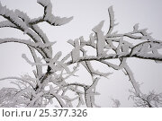 Купить «Frost covered branches, Ballon des Vosges Nature Park, Haut Rhin, Alsace, France, December 2008», фото № 25377326, снято 19 июля 2018 г. (c) Nature Picture Library / Фотобанк Лори