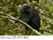 Купить «Bioko black colobus (Colobus satanas satanas) monkey in rainforest, Endangered Species, Bioko Island, Equatorial Guinea, January», фото № 25377462, снято 21 января 2020 г. (c) Nature Picture Library / Фотобанк Лори