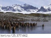 Купить «King penguins {Atenodytes patagonicus} young chicks waiting in creche, St Andrews Bay, South Georgia», фото № 25377662, снято 24 сентября 2018 г. (c) Nature Picture Library / Фотобанк Лори