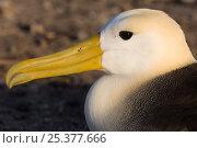 Купить «Waved Albatross (Phoebastria irrorata) portrait, Punta Cevallos, Española Island, Galapagos Islands, Ecuador, South America. Endemic, Critically endangered», фото № 25377666, снято 17 июня 2019 г. (c) Nature Picture Library / Фотобанк Лори