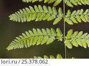 Купить «Close-up of Fern frond with spiders webs on it, Dlouhy Dul, Ceske Svycarsko / Bohemian Switzerland National Park, Czech Republic, September 2008», фото № 25378062, снято 27 апреля 2018 г. (c) Nature Picture Library / Фотобанк Лори