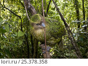 Купить «Kakapo (Strigops habroptila) wild male known as Sirocco moving along branch, night parrot, Codfish Island, off Stewart Island, southern New Zealand, Critically endangered species», фото № 25378358, снято 5 августа 2020 г. (c) Nature Picture Library / Фотобанк Лори