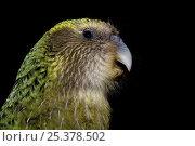 Купить «Kakapo (Strigops habroptila) wild male known as Sirocco, night parrot, Codfish Island, off Stewart Island, southern New Zealand, Critically endangered species», фото № 25378502, снято 5 августа 2020 г. (c) Nature Picture Library / Фотобанк Лори