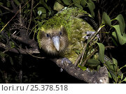 Купить «Kakapo (Strigops habroptila) wild male known as Sirocco perched in tree, night parrot, Codfish Island, off Stewart Island, southern New Zealand, Critically endangered species», фото № 25378518, снято 5 августа 2020 г. (c) Nature Picture Library / Фотобанк Лори