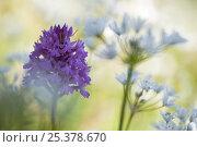 Купить «Pyramidal orchid (Anacamptis pyramidalis) in flower, Vieste, Gargano NP, Gargano Peninsula, Apulia, Italy, April 2008», фото № 25378670, снято 23 июля 2018 г. (c) Nature Picture Library / Фотобанк Лори