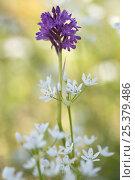 Купить «Pyramidal orchid (Anacamptis pyramidalis) in flower, Vieste, Gargano NP, Gargano Peninsula, Apulia, Italy, April 2008», фото № 25379486, снято 23 июля 2018 г. (c) Nature Picture Library / Фотобанк Лори