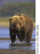 Grizzly bear (Ursus arctos horribilis) sow crossing river, Alaska (non-ex) Стоковое фото, фотограф Andy Rouse / Nature Picture Library / Фотобанк Лори