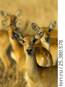 Uguanda kob {Kobus kob thomasi} females, Murchison Falls National Park, Uganda. Стоковое фото, фотограф Edwin Giesbers / Nature Picture Library / Фотобанк Лори