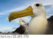 Купить «Waved albatross (Phoebastria irrorata) portrait, Punta Cevallos, Española Island, Galapagos Islands», фото № 25381170, снято 18 июня 2019 г. (c) Nature Picture Library / Фотобанк Лори