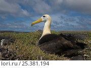 Купить «Waved albatross (Phoebastria irrorata) on nest, Punta Cevallos, Española Island, Galapagos Islands», фото № 25381194, снято 20 марта 2019 г. (c) Nature Picture Library / Фотобанк Лори