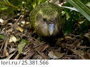 Купить «Kakapo (Strigops habroptila) wild male known as Sirocco on the ground, night parrot, Codfish Island, off Stewart Island, southern New Zealand, Critically endangered species», фото № 25381566, снято 5 августа 2020 г. (c) Nature Picture Library / Фотобанк Лори