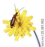 Black-tipped soldier beetle (Rhagonycha fulva) on hawkweed, Surrey, England. Стоковое фото, фотограф Kim Taylor / Nature Picture Library / Фотобанк Лори