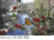 European robin (Erithacus rubecula) on Holly, digital composite, Surrey, England. Стоковое фото, фотограф Kim Taylor / Nature Picture Library / Фотобанк Лори