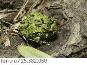 Купить «Frog (Scaphiophryne spinosa) Andasibe-Mantadia NP, Madagascar», фото № 25382050, снято 26 мая 2019 г. (c) Nature Picture Library / Фотобанк Лори