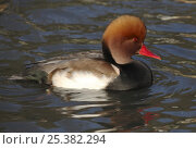 Купить «Red crested pochard (Netta rufina) drake, captive, Sussex, England», фото № 25382294, снято 7 апреля 2020 г. (c) Nature Picture Library / Фотобанк Лори